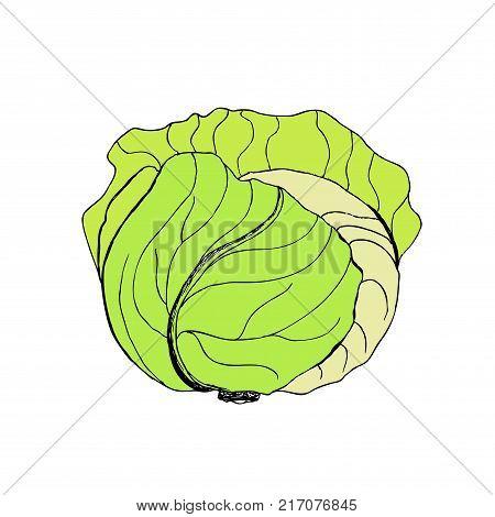 green liner cabbage. Cabbage clipart.  vegetable.  illustration