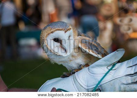 Barn Owl On Handler's Glove (tyto Alba)
