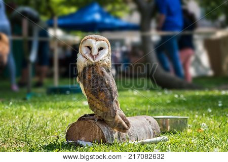 Barn Owl (tyto Alba) On Green Grass – Closeup Portrait
