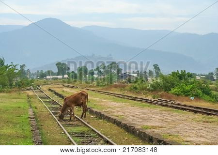 Cow grazing on an abandoned and disused train line in southern Cambodia