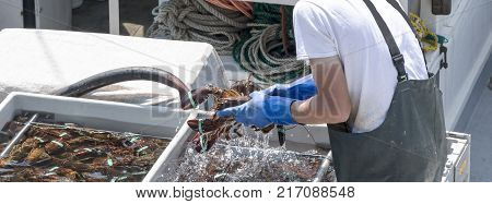 A fishernman washing and sorting live Maine lobsters on his fishing boat on a sunny summer afternoon in Maine.