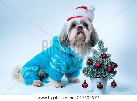 Shih tzu dog in santa hat and blue  sweater with small new year tree on white and blue background