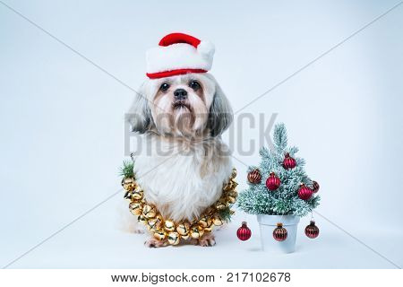 Shih tzu dog in santa hat with small new year tree on white and blue background