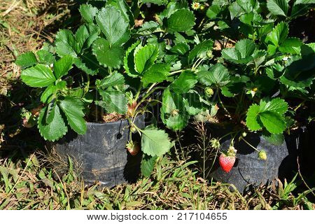 strawberry in strawberry garden, note  select focus with shallow depth of field