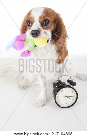 Cute cavalier king charles spaniel dog puppy on isolated white studio background. Dog puppy with sof toy. Play time. cute.