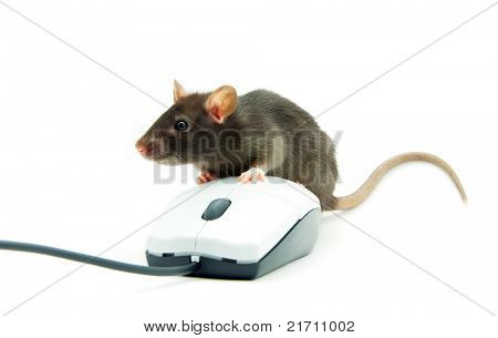 Rat and a computer mouse on white background
