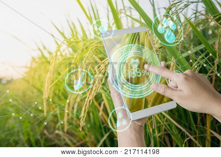 Hand using tablet inspecting rice in agriculture garden with concept modern technologies