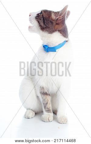 Domestic cat with collar on isolated white background. Cat wanting food. Trained cat. Animal mammal pet. Beautiful grey white young kitten on isolated white studio photo background. Cat with beautiful eyes Silver kitten.