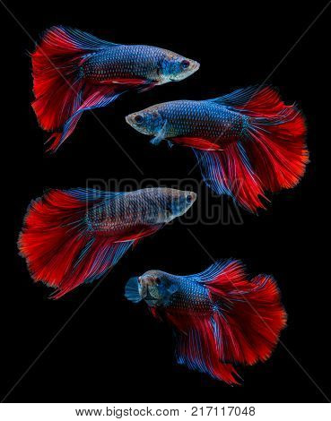 Collections of fish isolated on black background. siamese fighting fish Betta fish