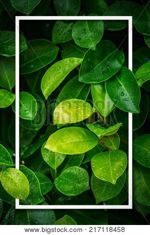 Layout of green leaf wet rain with white frame. Using idea design texture pattern concept