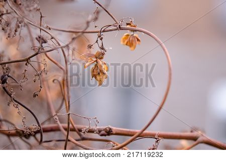A withered hop flower on a blurred background. Hop flower close-up. Autumn landscape.