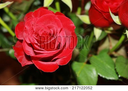 Single Rose in Flower Bouquet Close Up. Fresh Kenya Dark Red Rose on Floral Natural Flower Leaves Background. Romantic Valentine's Day Gift, Wedding Decoration and Date Night Accessory.