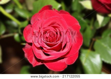 Rose Flower of Dark Red Color with Petals Close Up, Macro Image. Bouquet Single Flower Detail, One Natural Fresh Rose Isolated on Floral Themed Background. Romantic Gift Concept, Kenyan Rose Picture.