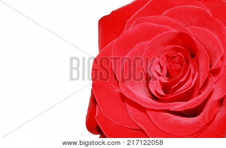 Rose Flower Petals Dark Red Color Close Up. Bouquet Detail of Natural Fresh Vivid Single Rose Flower. Detailed Image Isolated on White Background with Empty Copy Space. Romantic Valentine's Day Gift.