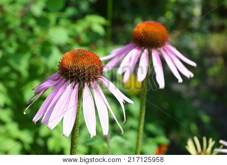 Colorful Purple Coneflowers Echinacea Flowers in the bee friendly garden flower bed.