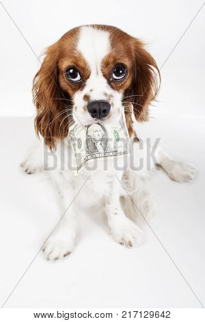 Cute cavalier king charles spaniel dog puppy on isolated white studio background. Dog puppy with money dollar bill. Dog holding American dollar illustrate pet costs.