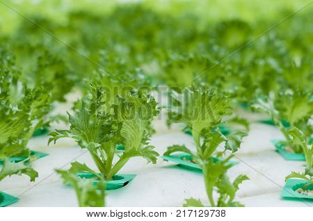 Young green lettuce growth in hydroponics system. It is in close greenhouse environment there for no insect and disease problem. Less chemical usage more clean safer and healthier.