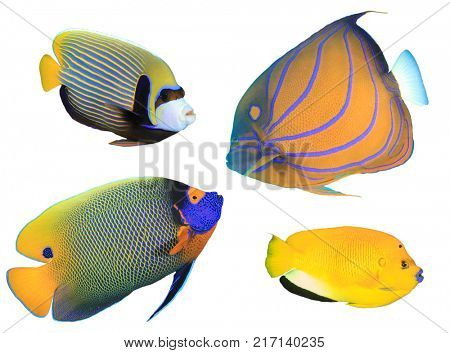 Angelfish isolated on white background. Tropical reef fish collection. Emperor, Bluering, Yellowmask and Onespot Angelfishes