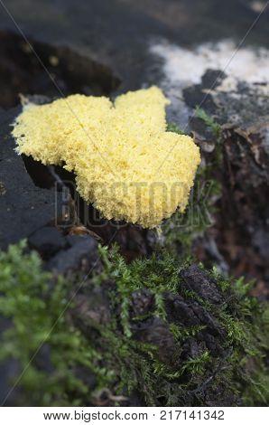 Fuligo septica mushrooms (slime mould) on an old stump
