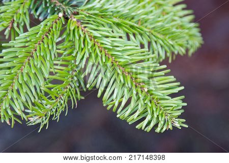 close-up of a fir branch - outdoor shot