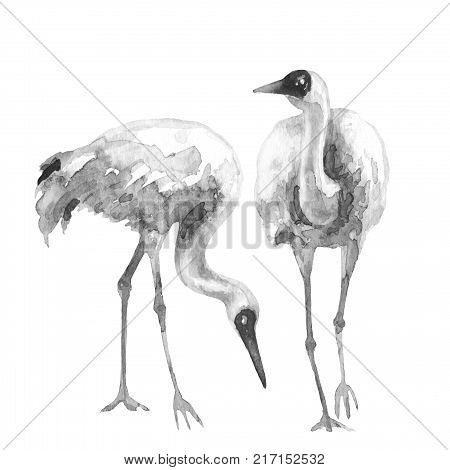 Watercolor painting. Hand drawn illustration. Couple Siberian Cranes isolated on white.Monochrome sketch of wading bird with long neck.