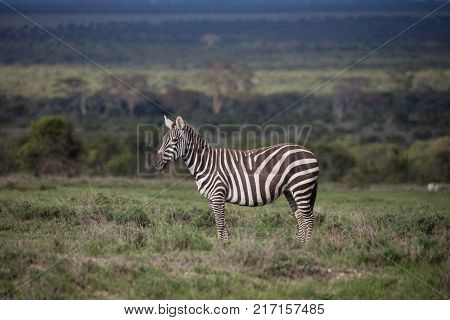 A female plains zebra Equus burchelli stands on a lush green savannah plain.