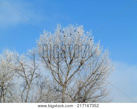 Crows on the bare branches covered with frost