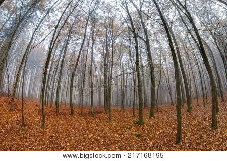 Fog in the beech wood in autumn