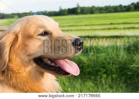 Golden Retriever on Rice fields nature background