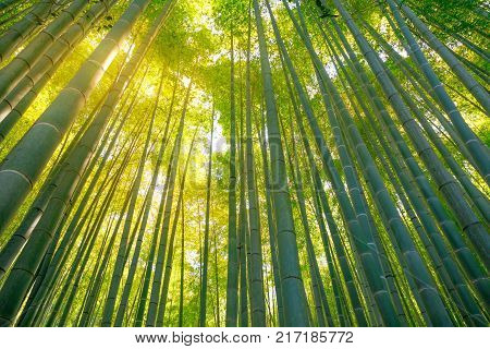 Green bamboo background. Bottom view of grove of bamboo garden in surreal sunlit. Take-dera  Temple in Kamakura, Japan. Meditative concept.