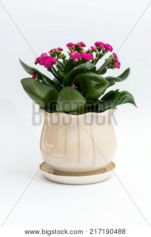 Pink calanchoe in a white pot on a light background