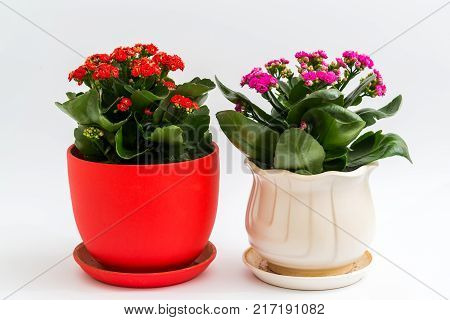 Pink and red kalanchoe in a pot on a light background