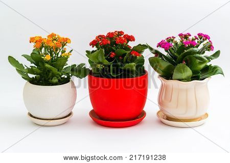 Pink, red and yellow kalanchoe in a pot on light background