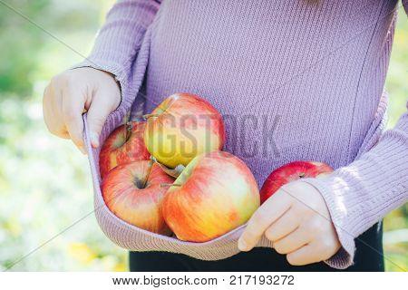 ripe fresh apples in the hem of the child