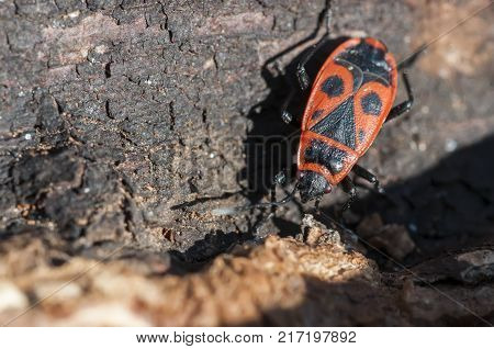 The firebug, Pyrrhocoris apterus, is a common insect of the family Pyrrhocoridae. Pyrrhocoris apterus is distributed throughout the Palaearctic from the Atlantic coast of Europe to northwest China.
