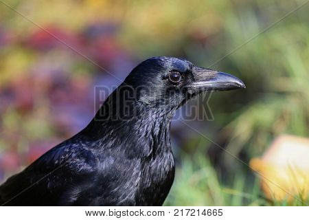 A carrion crow with it's feathers shining in bright sunlight