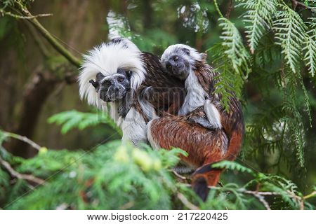 Monkey Tamarin Pinc Saguinus oedipus with baby on tree