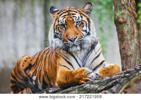 Beautiful rare Sumatran Tiger is a rare tiger subspecies that inhabits the Indonesian island of Sumatra. Panthera tigris sumatrae. It has been listed as Critically Endangered on the IUCN Red List