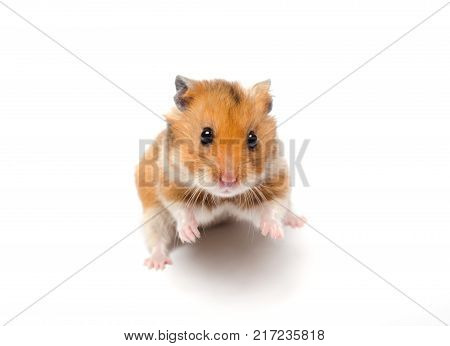Cute funny Syrian hamster in a funny pose (isolated on white) selective focus on the hamster eyes