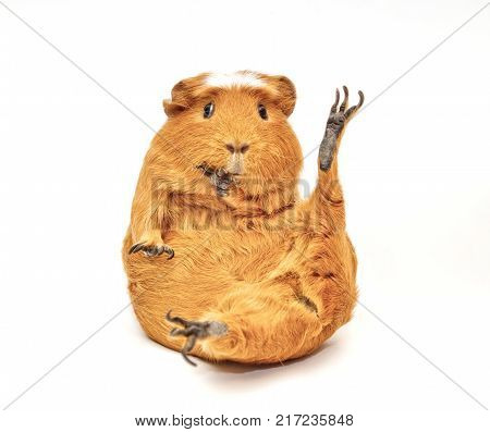 Karate guinea pig (guinea pig sitting in a funny pose as if doing karate) isolated on white
