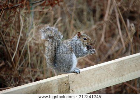Grey Squirrel Eating An Acorn
