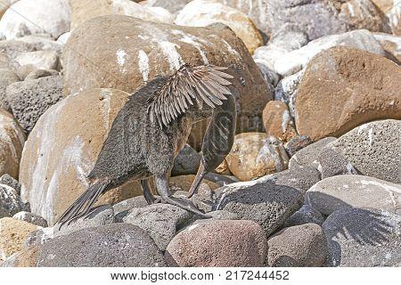 Flightless Cormorant Preening on a Rocky Shore on Isabela Island in the Galapagos Islands