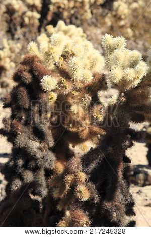 Cholla Cactus, in Joshua Tree National Park