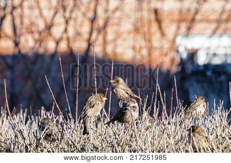 Sparrows sitting on a branch. The Eurasian tree sparrow, Passer montanus, is a passerine bird in the sparrow family with a rich chestnut crown and nape, and a black patch on each pure white cheek.