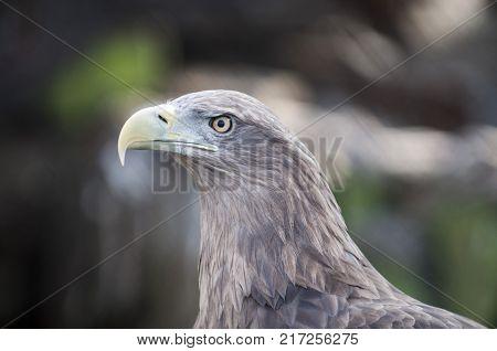 White-tailed eagle, Haliaeetus albicilla, also known as sea eagle. A close-up photograph