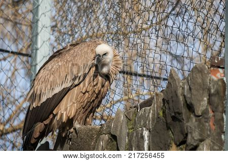 Gyps fulvus - a large bird of the hawk family, a scavenger. Common in arid mountainous and plain landscapes of southern Europe, Asia and North Africa, also breeds in the mountains of Caucasus poster