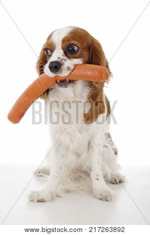 Dog with meat treat treats. Sausages. Dog food with cavalier king charles spaniel. Trained pet photo. Animal dog training with food. Cute Spaniel photo for every concept. Hungry dog on isolated white background. Treats.