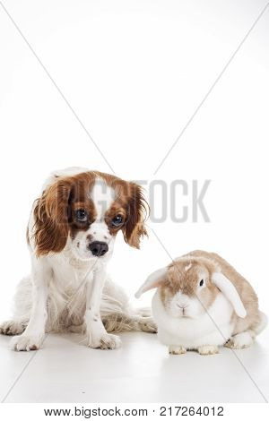True animal friends. Real dog and lop together. Cavalier king charles spaniel dog with live orange rabbit loves each other. Animal friendship. Cute.