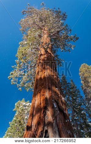 Giant Sequoia tree in Sequoia National Park California USA