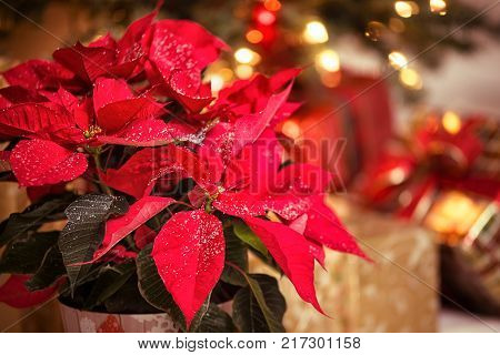 Red Poinsettia (Euphorbia pulcherrima) Christmas Star flower with decorative snowflakes on the leaves. Festive red and golden Christmas background with tree lights and presents.
